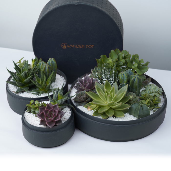 Trio set of Lush Succulent mix in a charcoal blue handmade pot, lavish cacti mix with lid. Biodegradable and Recycled Pot. Long-lasting and sustainable plant gift.