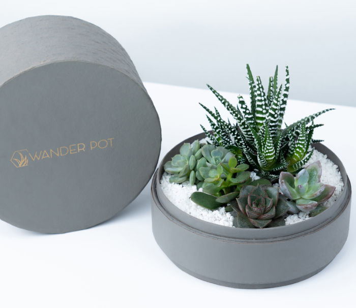 Midi Succulent mix in a grey handmade pot, midi jungle cacti mix with lid. Biodegradable and recycled pot. Long-lasting and sustainable plant gift.
