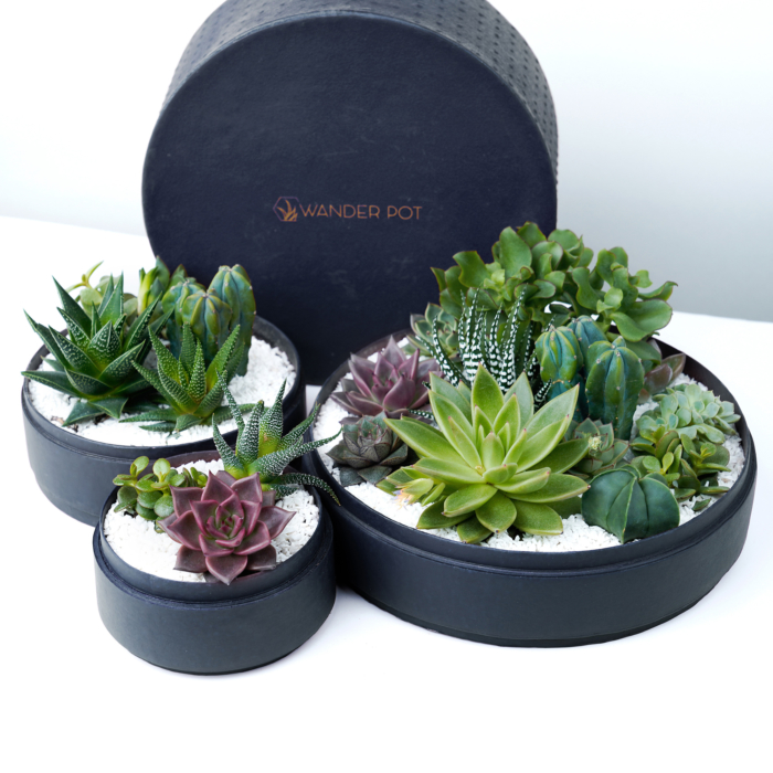 Trio set of Lush Succulent mix in a black handmade pot, lavish cacti mix with lids. Biodegradable and Recycled Pot. Long-lasting and sustainable plant gift.