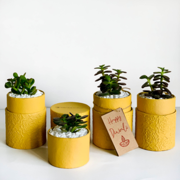 Diwali sustainable plant gifts in yellow planters with Jade plants - Diwali 2020 - Diwali gift ideas