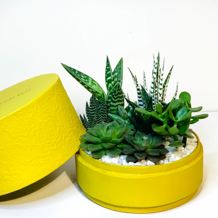 Diwali sustainable plant gifts with a succulent garden planted in a yellow box - Diwali 2020 - Diwali gift ideas-43
