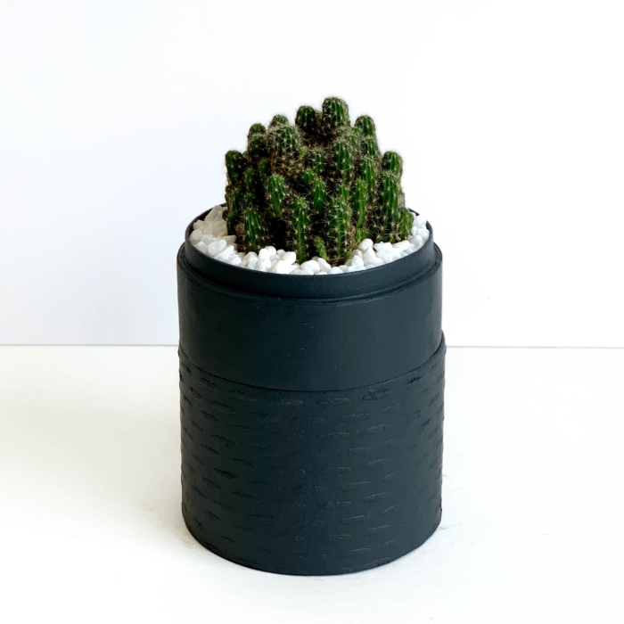 Portrait view of mini fairy castle cactus in a charcoal blue handmade pot, Acanthocereus, cereus with lid. Biodegradable and recycled pot. Long-lasting and memorable sustainable plant gift.