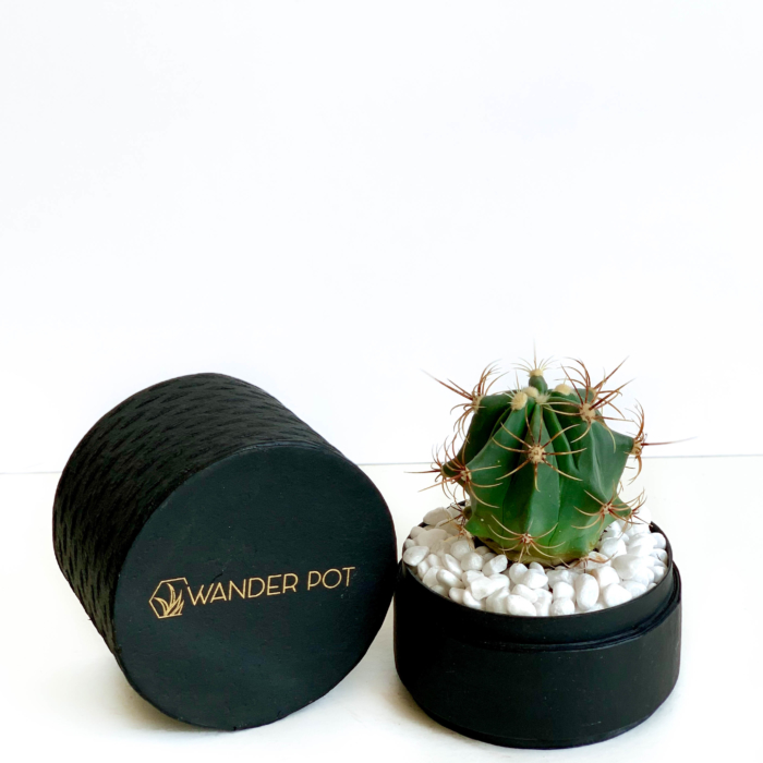 Landscape view of Mini Barrel Cactus in a black handmade pot, Thelocactus setispinus with lid. Biodegradable and recycled pot. Long-lasting and memorable sustainable plant gift.