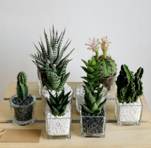 Assortment of mini succulent mix in glass pots. Personalised gift card. Biodegradable and recycled pot. Long-lasting and sustainable plant gift.