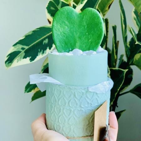 mini hoya mint green