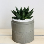 Mini Haworthia in a grey handmade pot, with the lid as a saucer. Biodegradable and recycled pot. Long-lasting and gorgeous sustainable plant gift.