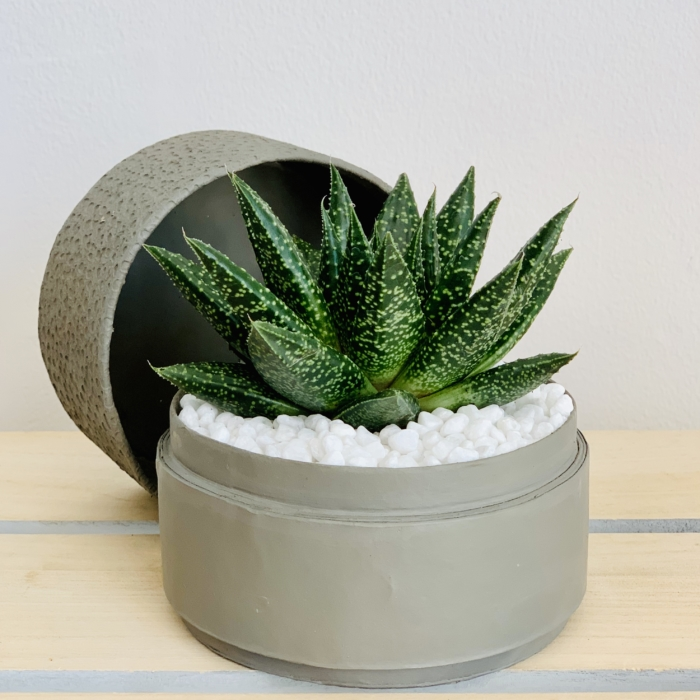 Mini Haworthia in a grey handmade pot, with the lid on the side . Biodegradable and recycled pot. Long-lasting and gorgeous sustainable plant gift.
