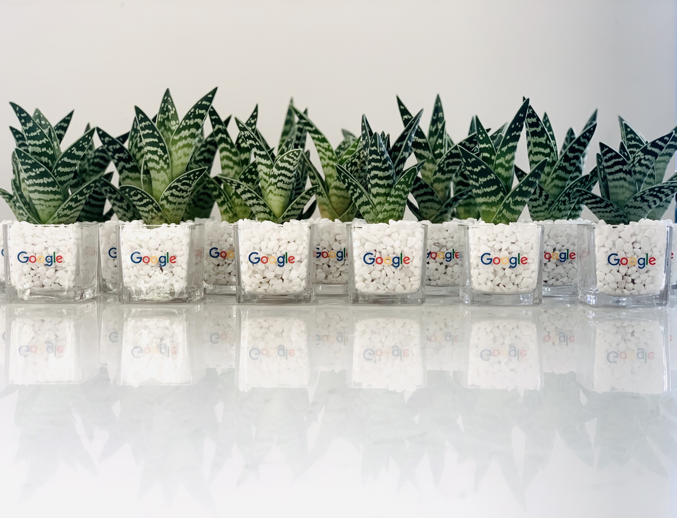 Corporate Plant Gifts. Sustainable gift ideas. Mini Haworthia succulent. Long-lasting and gorgeous sustainable plant gift.