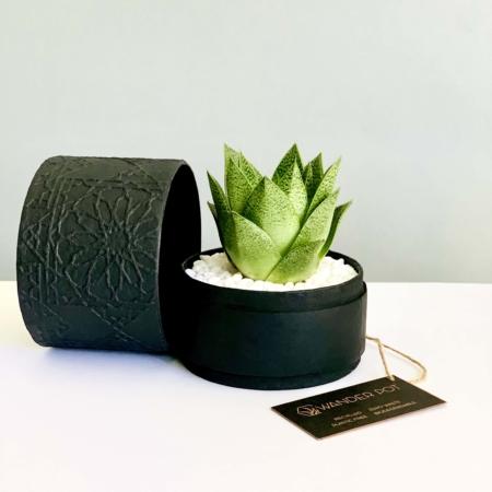 black box haworthia