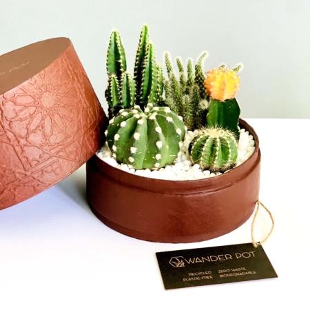 cacti mix in a burgundy box