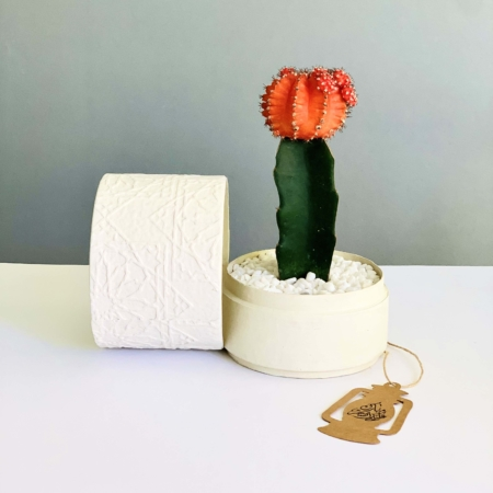 red ruby cactus white planter