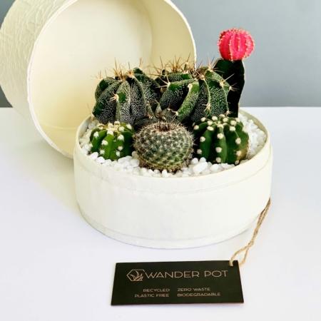 white cacti mix