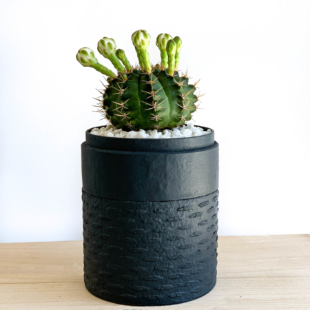 Portrait View of Mini Flowering Chin Cactus in a Charcoal Blue Handmade pot, Gymnocalycium. Biodegradable and recycled pot. Long-lasting and sustainable plant gift.