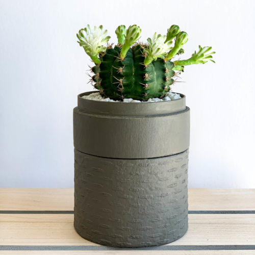 Portrait View of Mini Flowering Chin Cactus in a Grey Handmade pot, Gymnocalycium. Biodegradable and recycled pot. Long-lasting and sustainable plant gift.