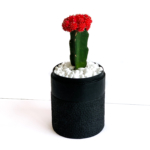Portrait view of Red Ruby Cacti in a Black handmade pot, Gymnocalycium mihanovichii with lid. Biodegradable and recycled pot. Long-lasting and sustainable plant gift.