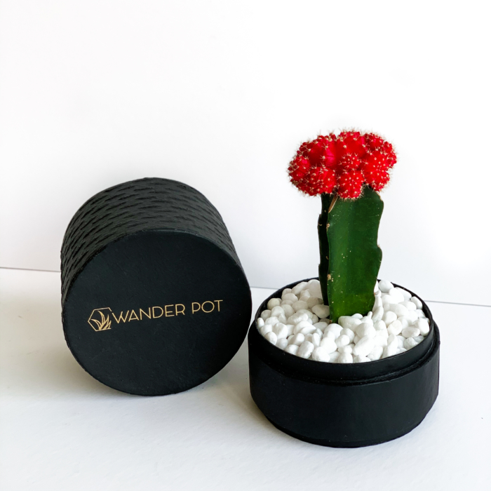 Landscape view of Red Ruby Cacti in a Black handmade pot, Gymnocalycium mihanovichii with lid. Biodegradable and recycled pot. Long-lasting and sustainable plant gift.