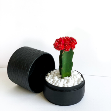 Red Ruby Cacti in a Black handmade pot, Gymnocalycium mihanovichii with lid. Biodegradable and recycled pot. Long-lasting and sustainable plant gift.