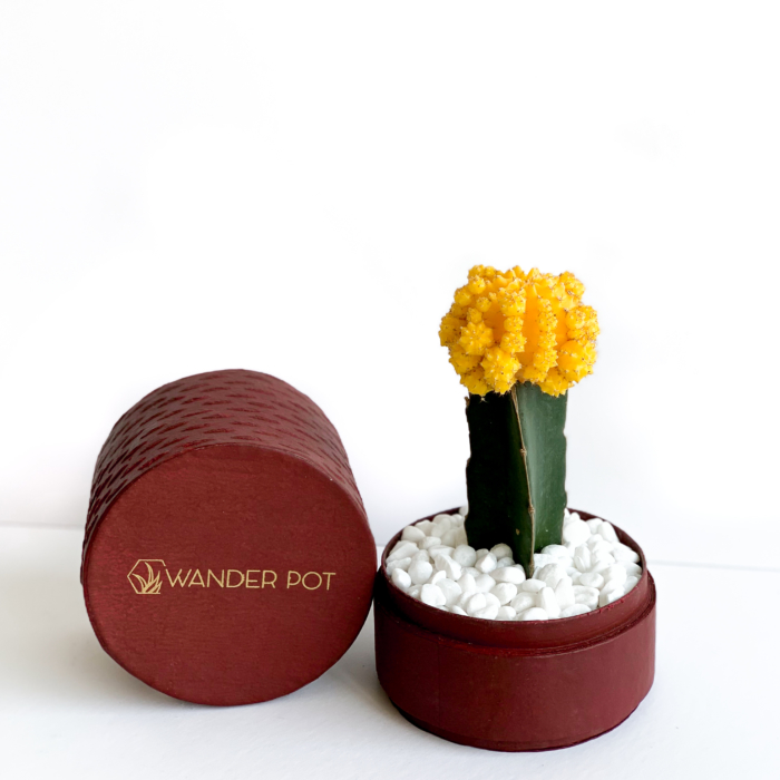 Landscape view of Yellow Ruby Cacti in a red handmade pot, Gymnocalycium mihanovichii with lid. Biodegradable and recycled pot. Long-lasting and sustainable plant gift.