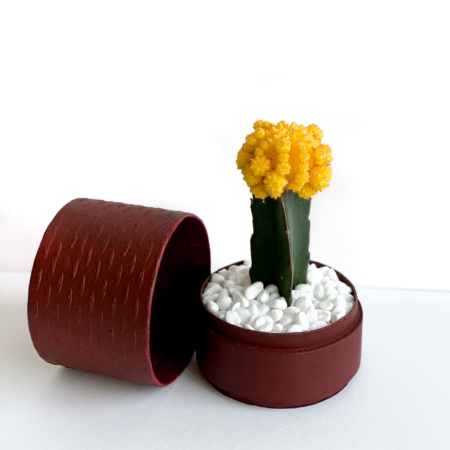 Yellow Ruby Cacti in a red handmade pot, Gymnocalycium mihanovichii with lid. Biodegradable and recycled pot. Long-lasting and sustainable plant gift.
