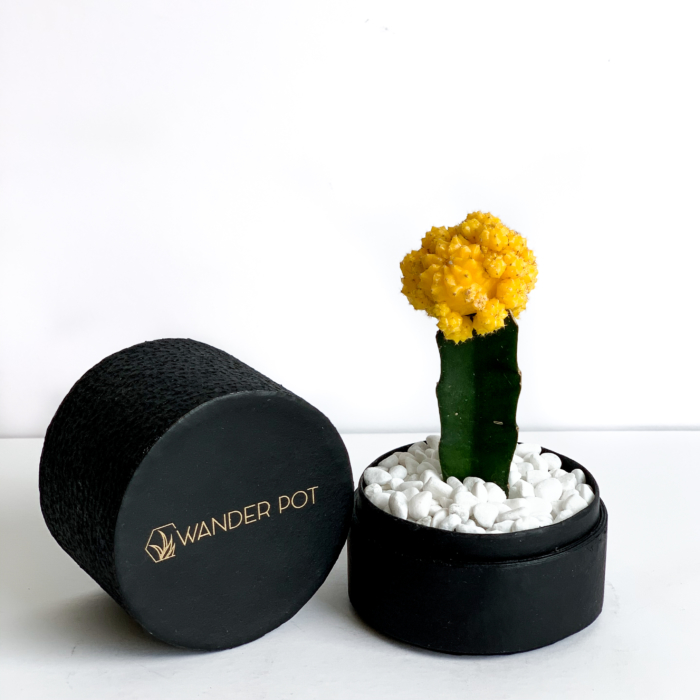Yellow Ruby Cacti in a Black handmade pot, Gymnocalycium mihanovichii with lid. Biodegradable and recycled pot. Long-lasting and sustainable plant gift.