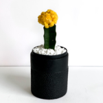 Portrait view of Yellow Ruby Cacti in a Black handmade pot, Gymnocalycium mihanovichii with lid. Biodegradable and recycled pot. Long-lasting and sustainable plant gift.