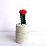 Portrait view of Red Ruby Cacti in a Warm White handmade pot, Gymnocalycium mihanovichii with lid. Biodegradable and recycled pot. Long-lasting and sustainable plant gift.