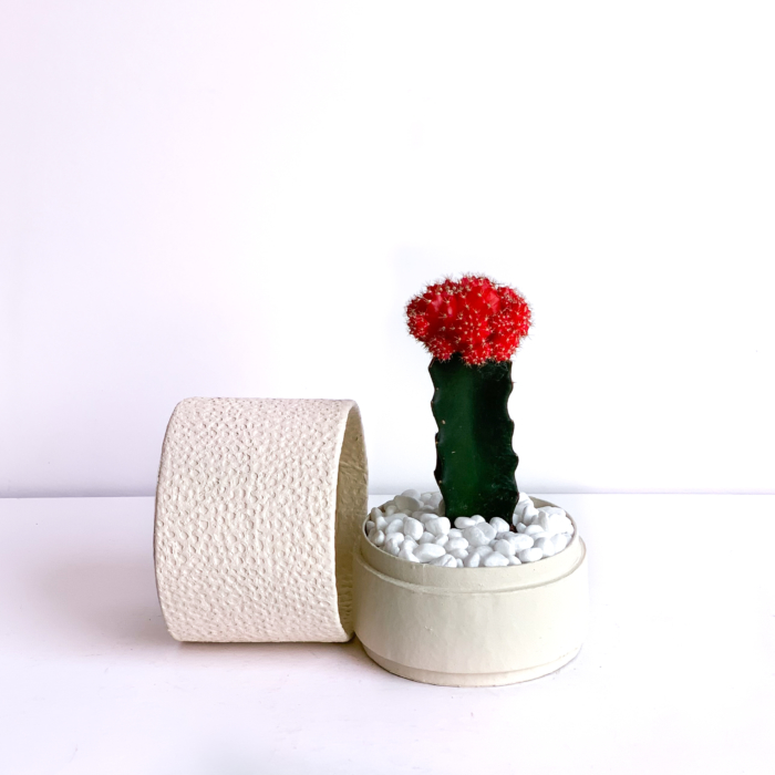Landscape view of Red Ruby Cacti in a Warm White handmade pot, Gymnocalycium mihanovichii with lid. Biodegradable and recycled pot. Long-lasting and sustainable plant gift.