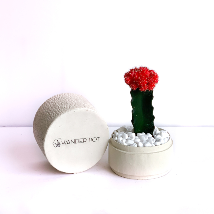 Red Ruby Cacti in a Warm White handmade pot, Gymnocalycium mihanovichii with lid. Biodegradable and recycled pot. Long-lasting and sustainable plant gift.