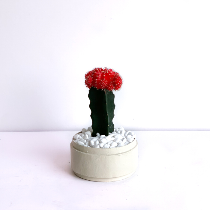 Long shot view of Red Ruby Cacti in a Warm White handmade pot, Gymnocalycium mihanovichii. Biodegradable and recycled pot. Long-lasting and sustainable plant gift.