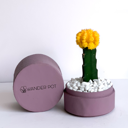 Landscape view of Yellow Ruby Cacti in a dust pink handmade pot, Gymnocalycium mihanovichii with lid. Biodegradable and recycled pot. Long-lasting and sustainable plant gift.