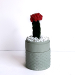 Portrait View of Red Ruby Cacti in a Mint Green handmade pot, Gymnocalycium mihanovichii with lid. Biodegradable and recycled pot. Long-lasting and sustainable plant gift.