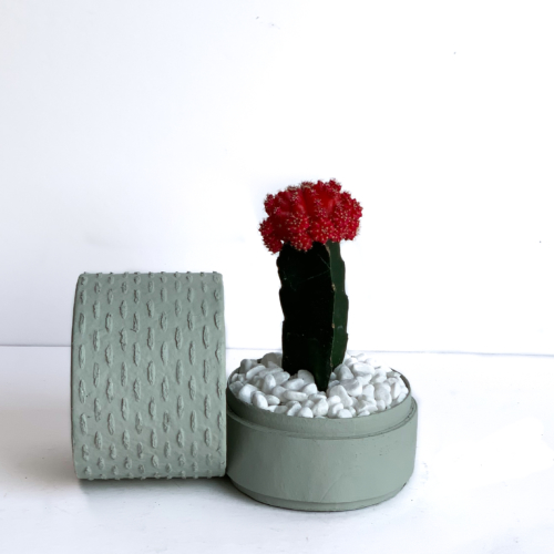 Red Ruby Cacti in a Mint Green handmade pot, Gymnocalycium mihanovichii with lid. Biodegradable and recycled pot. Long-lasting and sustainable plant gift.
