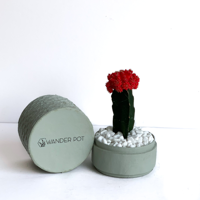 Landscape View of Red Ruby Cacti in a Mint Green handmade pot, Gymnocalycium mihanovichii with lid. Biodegradable and recycled pot. Long-lasting and sustainable plant gift.