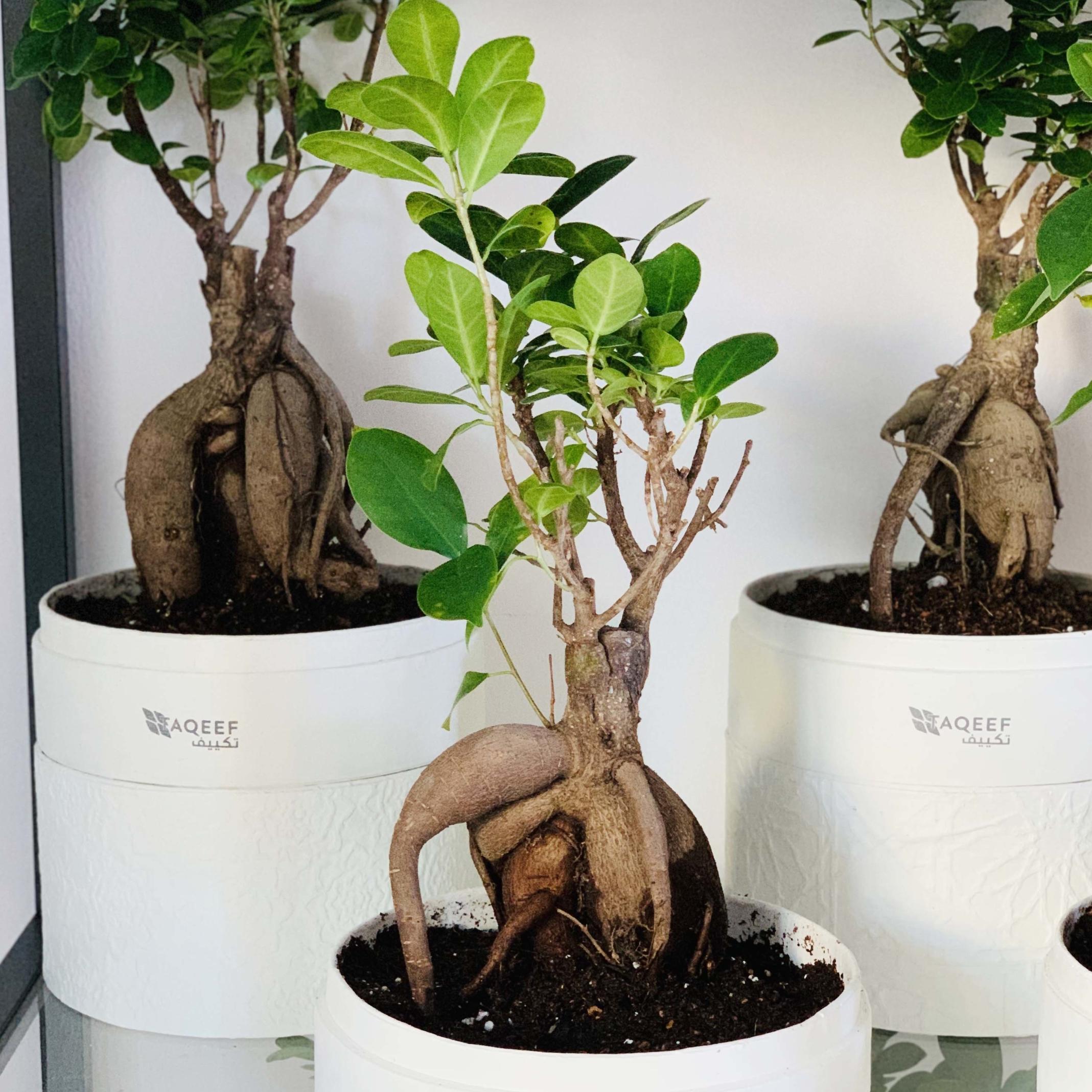 bonsai in a white box