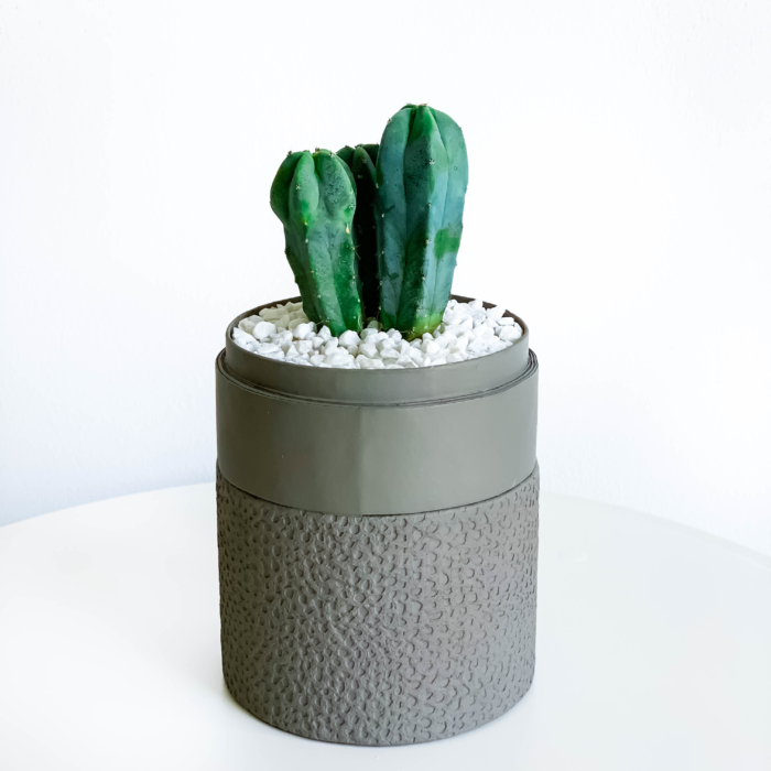 Portrait view of Mini Blue candle Cactus in a grey handmade pot, Myrtillocactus geometrizans with lid. Biodegradable and recycled pot. Long-lasting and sustainable plant gift.
