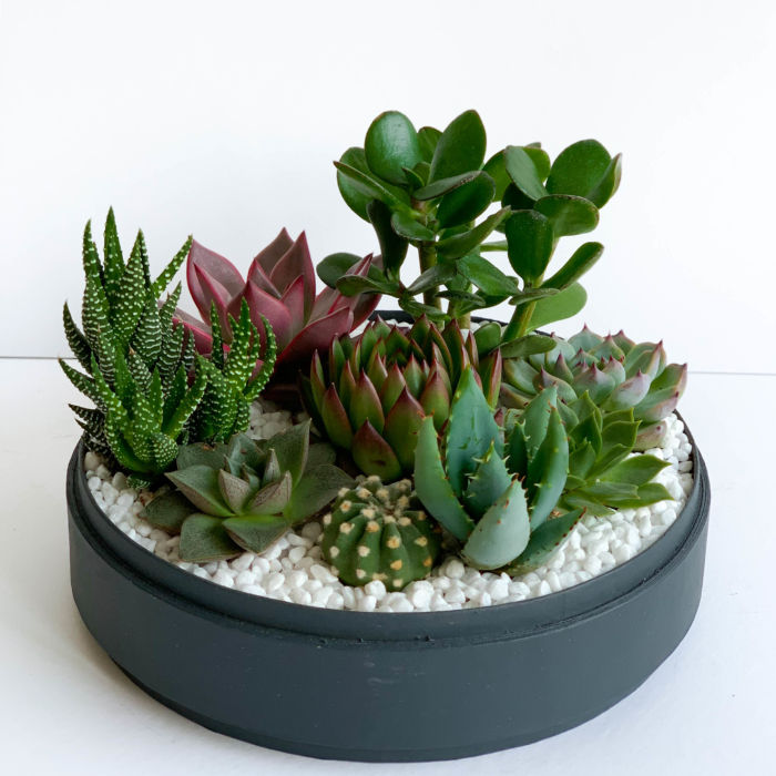 Lush Succulent mix in a charcoal blue handmade pot, cacti mix. Biodegradable and Recycled Pot. Long-lasting and sustainable plant gift.