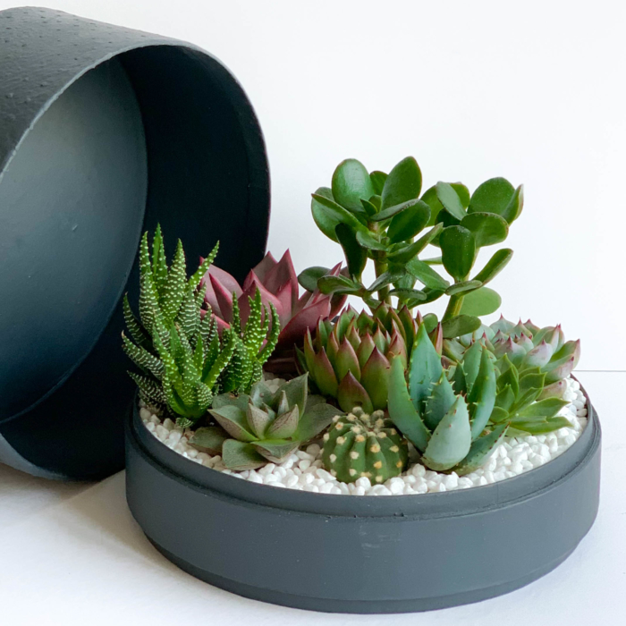 Aerial view of Lush Succulent mix in a charcoal blue handmade pot, cacti mix with lid. Biodegradable and Recycled Pot. Long-lasting and sustainable plant gift.