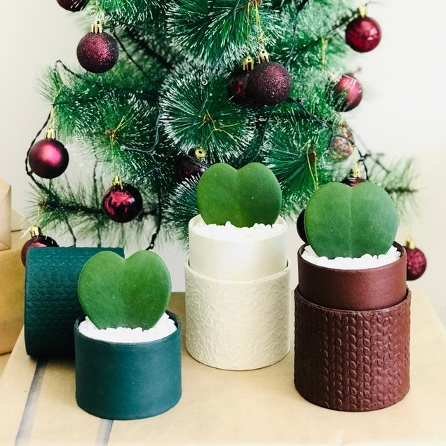 mini hoya heart trio set festive gifts