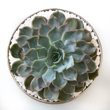 Midi Echeveria in a latte handmade pot, cute succulent. Biodegradable and recycled pot. Long-lasting and sustainable plant gift.